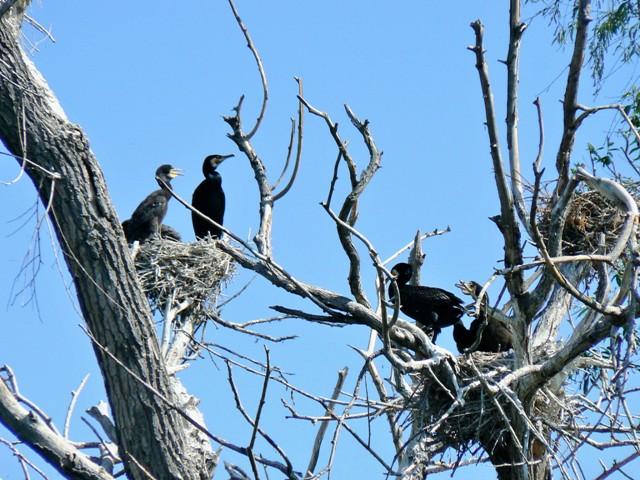 Kolonia kormoranów, czapli siwej i ślepowronów. Mierzeja Wiślana. Wycieczki ornitologiczne – Hit The Road Travel