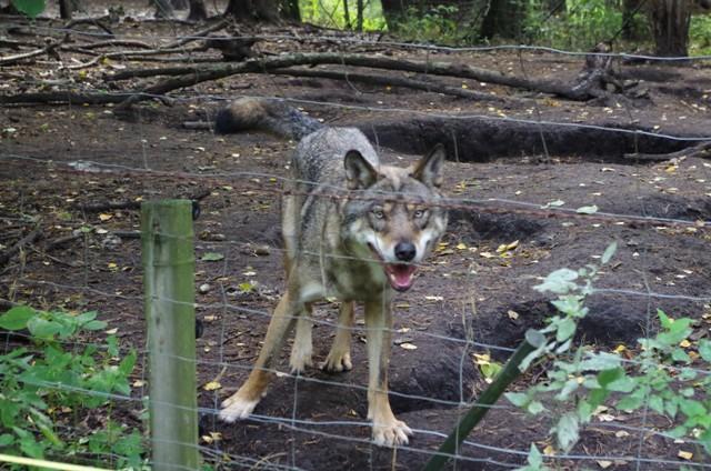 Wilk w Parku Dzikich Zwierząt w Kadzidłowie. Wycieczka na Mazury – Hit The Road Travel