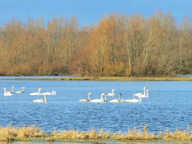 Łabędzie krzykliwe zimujące w Parku Narodowym Ujście Warty. Wycieczki ornitologiczne – Hit The Road Travel