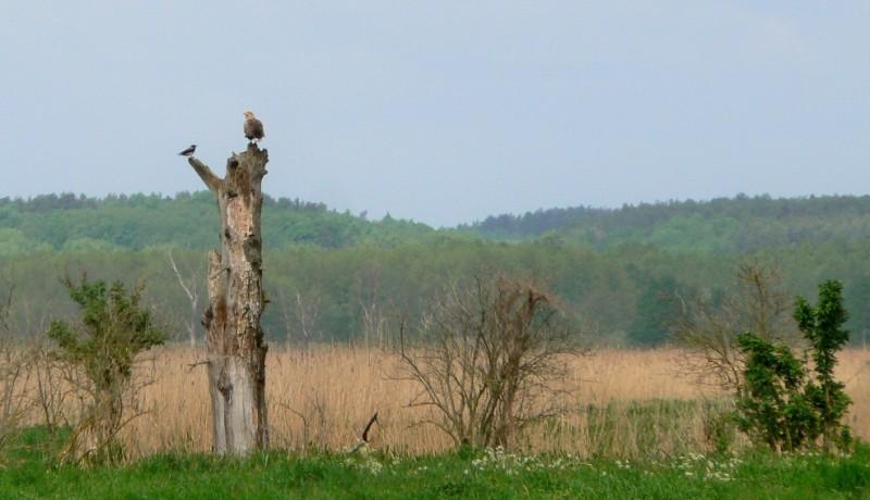 W Parku Narodowym Ujście Warty. Bielik. Wycieczki ornitologiczne – Hit The Road Travel
